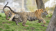 The Chase goes on.... (ilkleymoorbahtat) Tags: animal play tiger chase cubs amurtiger yorkshirewildlifepark
