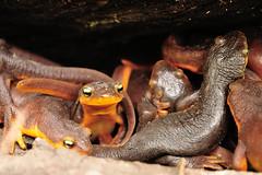 Pile O' Newts (J-Fish) Tags: california amphibian salamander newt californianewt tarichatorosa picchettiranchopenspacepreserve d300s 1685mmf3556gvr 1685mmvr