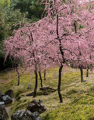 20160229-101406_5K_80 (pya) Tags: kyoto 京都 camellia plumblossoms jonangu 梅花 茶花 城南宮 椿花 weepingplumblossoms