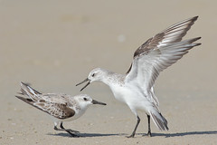 The Big Dispute (bmse) Tags: county orange beach canon fight l f56 salah sanderlings 400mm wingsinmotion 7d2 bmse baazizi
