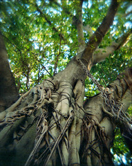 ropes (JoeBenjamin) Tags: trees blur color tree 120 film nature cn climb holga lomo lomography 645 florida strangler fig branches rope ficus negative 400 trunk medium format ropes trunks 6x45 dangling 120n aurea cfn dangles