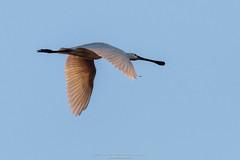 IMG_1013 (Wil de Boer Photography --> Dutch Landscape and Ci) Tags: sky bird birdwatching vogel leekstermeer spoonbill lepelaar canoneos80d onlanden wwwfacebookcomwildeboerphotography wwwwildeboerphoto sigma150600mmf50f63c ccopyright2016wildeboer