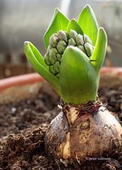 01-IMG_4571 (hemingwayfoto) Tags: flora pflanze blume knospe hyacinthus hyazinthen blütenstand zwiebelblume hyancinthusorientalis krautig spargelgewächs gartenhyanzinthe traubig