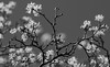 Sweet Cloudiness (AnyMotion) Tags: blackandwhite bw tree primavera nature spring blossom bokeh frankfurt natur 7d sw nik blüte botanicalgarden printemps baum frühling corneliancherry cornusmas 2016 botanischergarten kornelkirsche anymotion gelberhartriegel europeancornel canoneos7dmarkii