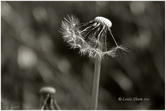 The Dandelion #3 (Louis Shum) Tags: canada monochrome beautiful vancouver blackwhite nikon bc sharp dandelion capture tone zonesystem nicephoto louisshum