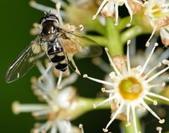 Hoverfly - Meliscaeva auricollis (Myopic Fish) Tags: park london borough hoverfly syrphidae bedfords flowerfly havering meliscaeva auricollis