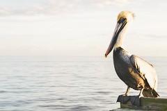 Pelican Bay (DavidAvila Photography) Tags: light lake water colors animal st skyline landscape photography nikon shadows state florida united peak petersburg fade balance states d3100