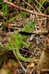 Ramarro orientale (Lacerta viridis Laurenti 1768) (Roberto PE) Tags: lacerta ramarro