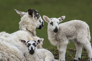Sheep Family ~ Explored