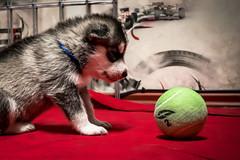 Reto ¡Qué pequeño! -Aún muy pequeño para poder jugar- (Alyaz7) Tags: dog pet cute ball puppy toy perro tiny cachorro mascota vr pequeño juguete pelota ternura photoshopedit rawquality huskysyberian nikond7200 lentenikonnikkorafs1855mm13556giidxvr reto¡quépequeño
