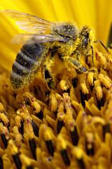 Bee at sunflower 1 (JP Korpi-Vartiainen) Tags: flower nature yellow colorful europe blossom august bee honey sunflower worker pollen cheerful northern collect kasvi eager luonto lapinlahti mesi työ kukka elokuu keltainen iloinen lämmin värikäs auringonkukka mehiläinen siitepöly ahkera sadonkorjuu hunaja työläinen pohjoissavo kerätä työntekijä jpko oranssinkeltainen