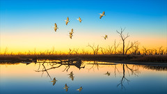 Last light at Menindee Lake (Young Ko) Tags: travel flowers blue trees light sunset vacation sky sun lake holiday reflection art nature yellow composition landscape interesting nikon colorful flickr atmosphere australia pelican harmony nsw lonely lastlight menindeelake lakepamamaroo