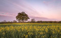 Spring Morning (Sarah_Brooks) Tags: morning flower tree yellow sunrise dawn spring somerset bloom april lonetree rapeseed 2016 myspring