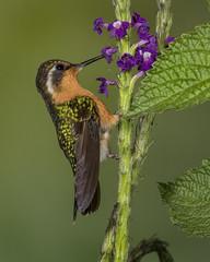 Purple-throated Mountain Gem (female) (Eric Gofreed) Tags: costarica hummingbird ngc npc purplethroatedmountaingem basquedepaz
