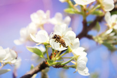 Bee.  (Spahi Anesa) Tags: life plants cute nature beautiful leaves sunshine insect spring colorful day little outdoor blossoms sunny bee