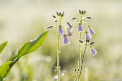 Kievitsbloem-9217-2 (Josette Veltman) Tags: flower bokeh rare bloemen zwolle bloem zeldzaam kievitsbloem kievitsbloemen