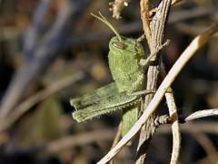 Schistocerca nitens (carlos mancilla) Tags: insectos grasshoppers ninfas nymphs saltamontes chapulines schistocercanitens olympussp570uz