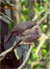 Jungle Babbler : a member of the Leiothrichidae family found in the Indian subcontinent. They are gregarious birds that forage in small groups of six to ten birds. (yadhukrishnan512) Tags: nature birds photography grey feathers flickrsbest