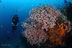 Flowers (Randi Ang) Tags: bali coral canon indonesia photography eos fan underwater angle pyramid wide dive scuba diving fisheye ang 15mm randi 6d amed seafan