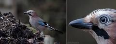 USA_3509 (Weinstckle) Tags: vgel insekt rabenvogel zecke eichelhher schmarotzer hher