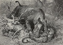 Black Rhinoceros in mortal combat with Leopard and two cubs in hiding, Les images de l'Afrique, beautiful, rare Antique Engraving Print 1880 (Kroone's Art Collection) Tags: world original two black beautiful les print de with antique wide images leopard bbc engraving cubs combat hiding rare rhinoceros wwf 1880 mortal fund lafrique