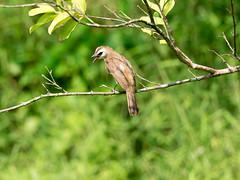 20160428-EM1X9363 (shutterblades) Tags: birds bulbul olympusem1 jurongecogarden olympusmzuiko300mmf4pro14tc