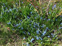 A Patch of Blue (susanvg) Tags: scilla scylla