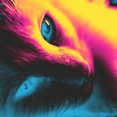111 | 366 | V (Randomographer) Tags: pet cute face up animal cat photoshop fur nose furry friend kat feline close fuzzy kitty whiskers gato catus 111 katze  macska companion processed  con koka  katt felis kissa kttur kucing mo cmyk   366   project366