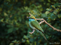 Small Wildlife (Ineound) Tags: park bird digital ed four spiegel olympus national micro tele srilanka zuiko blick omd yala thirds m43 mft 40150mm f456 em5 i spiegelblick 40150mmf456 microfourthirds 43 mzuiko spiegelblickde spiegelblickde 40150mm 14056
