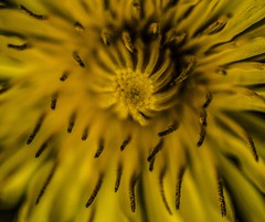 Burnt Offerings - April 2016 (GOR44Photographic@Gmail.com) Tags: wild flower macro yellow canon dandelion 100mmf28 canon100mm 60d gor44