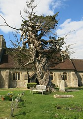 Tree at St James Church, Birdham (Peter Curbishley) Tags: tree church westsussex yew churchyard twisted gnarled stjameschurch ywen wsx birdham boisdif
