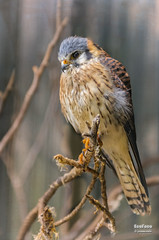 Cerncalo americano macho (Falco sparverius, Linnaeus, 1758) (EcoFoco juanma.coria) Tags: espaa primavera fauna atardecer andaluca aves macho cdiz rapaces nidos alcaldelosgazules parquenaturallosalcornocales cerncalovulgarfalcotinnunculuslinnaeus1758espaa fleischernaturaleza