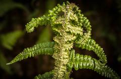 Fougre (pmermino) Tags: fern garden alien fougre