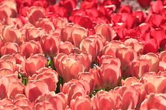 tulips (mimiblue_bear) Tags: pink flowers fleurs tulips delicate riflessi luce tulipani