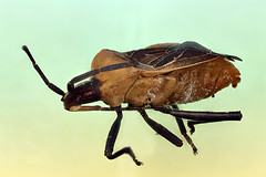 Stinkbug, hempitera (Macroscopic Solutions) Tags: wasp arachnid solutions macropod casing diptera hymenoptera pseudoscorpion caddisfly macroscopic hemptera focusstacking macroscopicsolutions