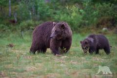 Cautious Mom (fascinationwildlife) Tags: bear wild summer brown tree nature animal forest mammal cub europe european wildlife natur swamp predator sow ursus br braunbr taiga arctos