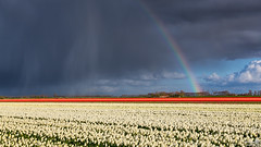 Tulips, rain and rainbow (BraCom (Bram)) Tags: flowers trees cloud holland netherlands windmill field rain regenboog clouds canon landscape evening spring rainbow bomen tulips farm widescreen nederland wolken tulip nl avond 169 lente veld regen bloemen landschap tulpen redtulips windmolen boerderij wolk zuidholland goereeoverflakkee tulp voorjaar whitetulips southholland dirksland canonef24105mm bracom canoneos5dmkiii