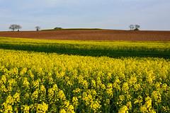 Le vert et le jaune (Excalibur67) Tags: trees yellow jaune landscape spring nikon contemporary sigma arbres paysage printemps frhling colza d7100 1770f284dcoshsmc