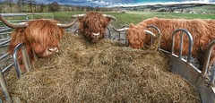 2016-04-27_11-03-01 (Innerleithen man) Tags: red scotland three cow nikon horns scottish hay hdr feedingtime highlandcow scottishborders sigmalens nikond5100 snapseed