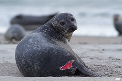 open sore - common harbor seal, Seehund, Phoca vitulina @ Helgoland, Heligoland in April 2016 (Jan Rillich) Tags: sea sun rot nature beautiful beauty animal fauna digital canon photography eos harbor photo spring flora foto fotografie image jan wildlife picture gash free sunny insel seal april bloody common northern wound scar nordsee sandstein robbe dne frhling helgoland phoca vitulina 2016 seehund animalphotography blutig wunde lesion phocavitulina buntsandstein gapingwound opensore heligoland hochseeinsel hundsrobbe janrillich rillich