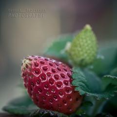 Strawberry fields forever (Andrea Rapisarda) Tags: red food macro nature fruit rouge strawberry nikon bokeh naturallight 11 d750 rosso frutta fragola 105mm allaperto allrightsreserved