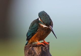 Kingfisher Female Alcedo atthis 032-1