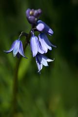 Bells (Colin-47) Tags: uk blue bluebells bells norfolk may handheld 2016 ef24105mmf4lisusm eos6d colin47