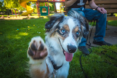 Dakota (Shanna Roast) Tags: park orange dog pet black cute green smile grass playground yellow tongue puppy fun snuggle photography grey paw play working australian fluffy mini cutie class fluff pup paws aussie doggie shepard boule k9 pant grassy