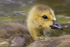 Canada Goslings 4-30-2016-3 (Scott Alan McClurg) Tags: life wild baby canada bird nature water animal swimming swim geese spring woods wildlife goose neighborhood wetlands suburbs gosling gliding waterfowl canadagoose canadageese waterbirds naturephotography glide branta anserinae anserini bcanadensis babygosling