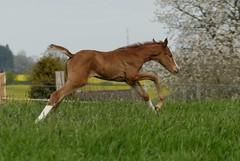 Rennpferd (Heiko Schneemann) Tags: pferde foal fohlen lifeiscrazy