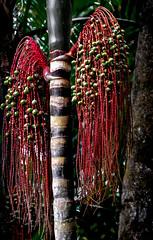 Panama - Oenocarpus mapora (marionchantal) Tags: tree rainforest palm tropical panama canopy gamboa centralamerica biodiversity arecaceae aerialtram oenocarpusmapora nikond7200 1803000mm