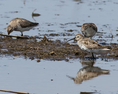 Dunlin (J.B. Churchill) Tags: ny newyork birds us unitedstates places seneca dunlin taxonomy shorebirds senecafalls senecacounty montezumanwr dunl