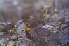 minolta_505si_fuji_superia_800_jupiter_37am_02 (iiyyyii) Tags: wood flowers plant film nature grass analog forest 35mm spring outdoor foliage 35mmfilm m42 vintagecamera analogue filmcamera fujisuperia800 tussilago minoltadynax505si sweet maxxumhtsiplus minoltaalphasweet jupiter37am35135