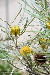 Yellow Protea (simonevanbergen) Tags: flowers winter plants fish cold tree grass rain southwales fauna garden dark grey flora roots carp botanicalgardens glasshouse shrubs gardenofwales stclears